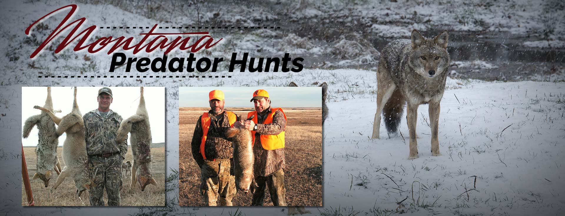 Guided Montana Coyote Hunting