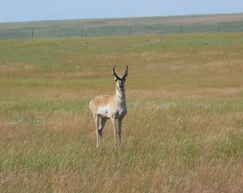 Pronghorn Hunting in Montana