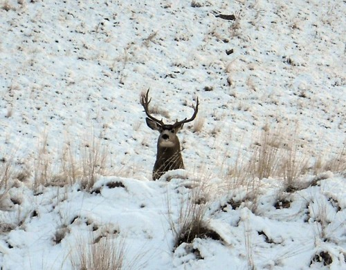 Montana Mule deer hunting guide and Outfitter in the