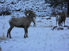 Bighorn sheep hunting in Montana.