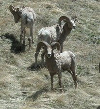 Bighorn Sheep hunting in Montana with a hunting guide from Redbone Outfitting.