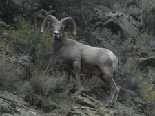 If you are fortunate enough to draw a Bighorn sheep tag for the breaks Redbone Outfitting can help you find the best there is around the area.