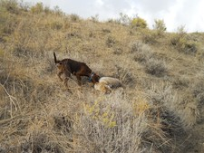 coyote hunting dogs