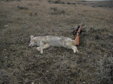 A pale eastern Montana coyote