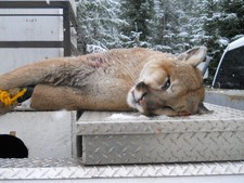 Mountain lion hunting in Montana